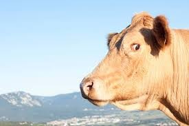 Cow looking off to the side