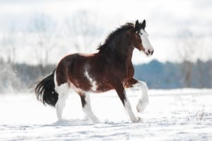 Clydesdale horse in the snow