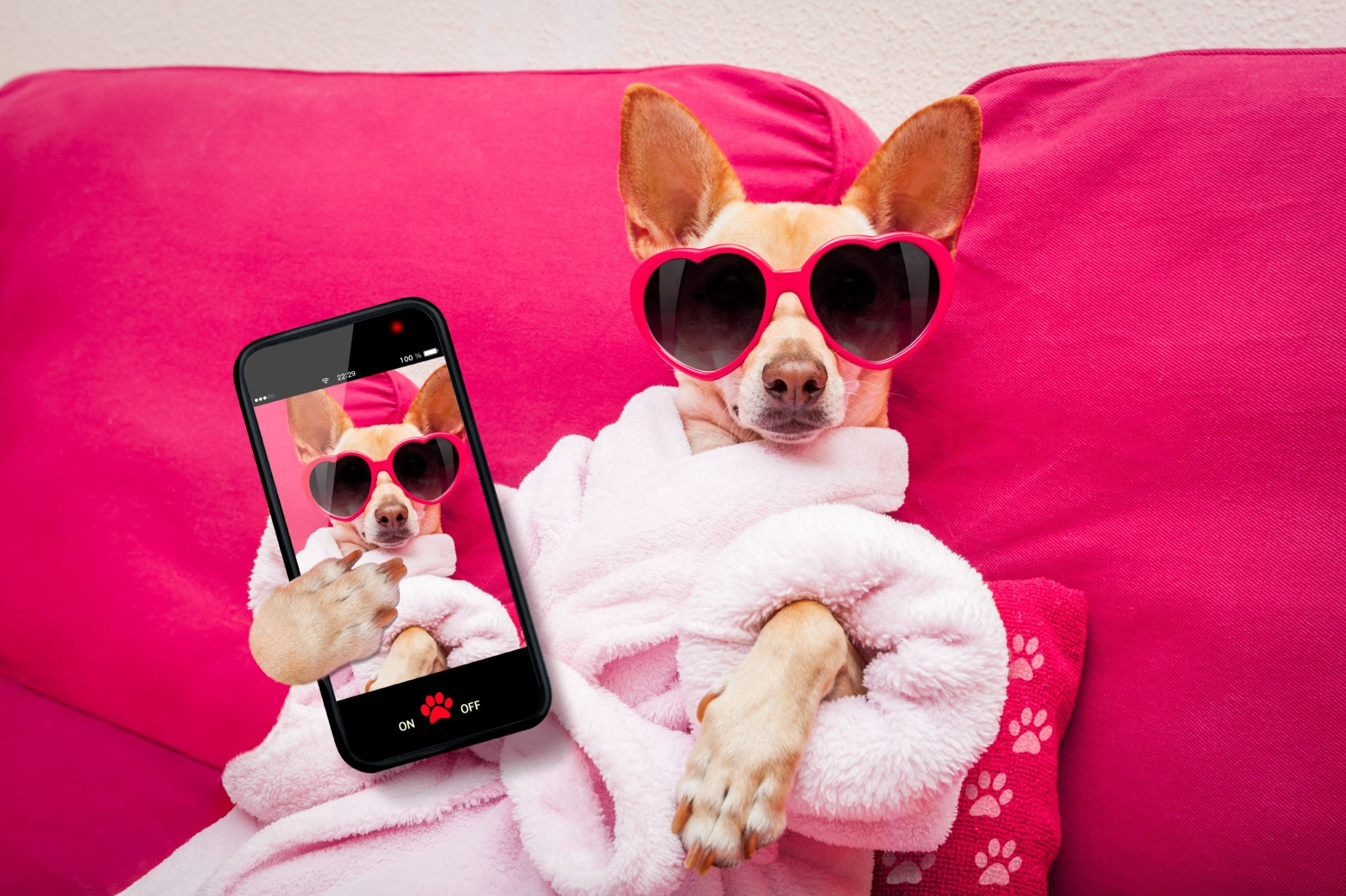 chihuahua relaxing on a pink pillow with a selfie