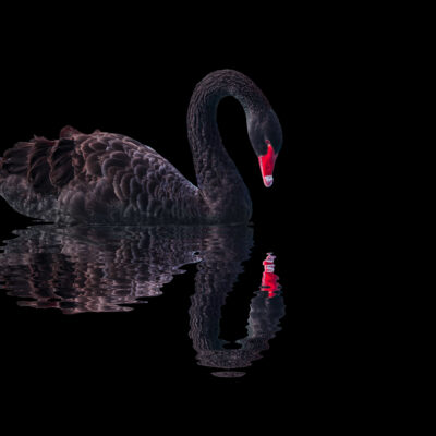 blog featured image black swan